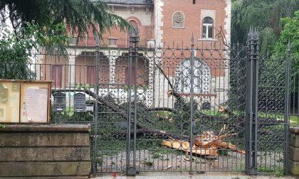 Bomba d'acqua, crolla il pino secolare dell'ex biblioteca