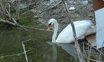 Parco degli aironi: liberato un cigno che ora tornerà alla vita FOTO