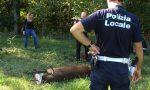 Cervo nel Parco Pineta, nessun bracconiere: ferito da un altro animale