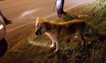 Cane ritrovato dalla Polizia locale di Castano: l'appello – FOTO
