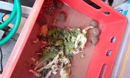 Commercio illegale di tartarughe a Uboldo: 145 esemplari sequestrati