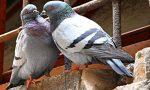 A Origgio divieto di dar da mangiare ai piccioni: multe fino a 200 euro