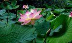 I Fiori di Loto fioriscono intorno all'Isolino Virginia: pronti alla visita?