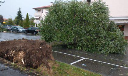 Bufera sul Tradatese, crollati gli alberi di via Rossini alle Ceppine FOTO E VIDEO