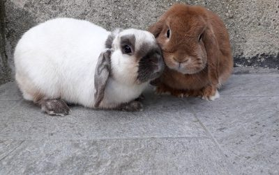 Zona rossa in Brianza contro la mixomatosi dei conigli