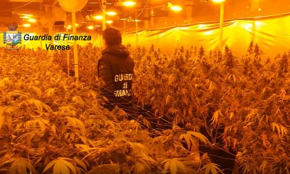 Due serre di marijuana sequestrate: oltre 1700 piante e 40kg di infiorescenze trovate VIDEO