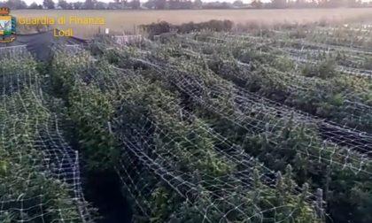 Sequestrata nel Lodigiano la più grande piantagione di marijuana in Italia: più di 115mila piante
