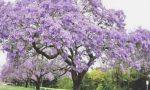 Nascerà un Bosco del Respiro a Olgiate: un albero di Paulownia per ogni vittima del Covid