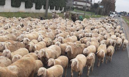 """Limido: inaspettata """"invasione"""" .. di pecore FOTO"""