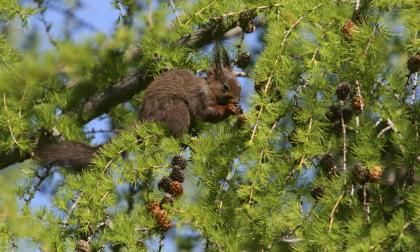 Varese, scoiattoli rossi stressati dalla vita in città: via al progetto dell'Insubria