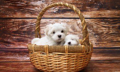 Compra un cucciolo online, mai arrivato: denunciata la finta venditrice