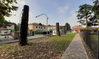 Nuova vita per gli alberi abbattuti a Olgiate: diventeranno sculture