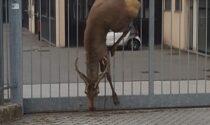 Cervo infilzato in una cancellata di Mozzate: non c'è stato nulla da fare