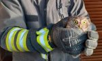 Civetta intrappolata in una bocca di lupo: la salvano i Vigili del Fuoco