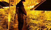 Maxi-piantagione di marijuana in un capannone di Gorla: 627 piantine trovate dall'Arma