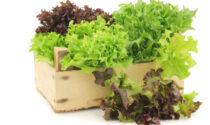 La Settimana di Saronno vi regala i semi di lattuga