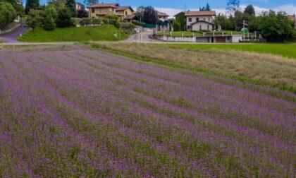 Campi fioriti e colorati per nutrire le api: anche Locate si colora di viola