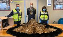 Pelli di giaguaro, corallo blu e borsa in pelle d'alligatore intercettati e sequestrati a Malpensa