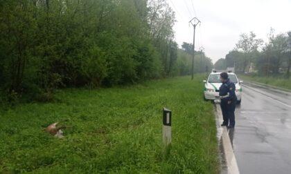 Incidente in Varesina a Cislago, in via Visconta cervo ucciso da un pirata della strada