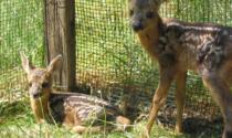 Cosa fare se si incontra un animale selvatico? I consigli della Polizia Ittico-Venatoria