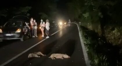 Mandria di cinghiali investita tra Binago e Venegono: sei ungulati morti